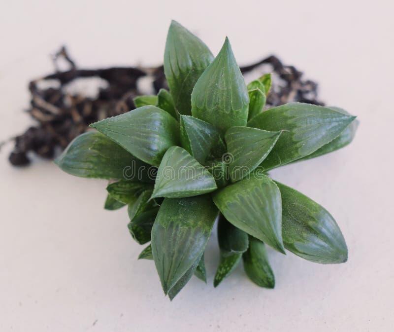 Himalgia cimbiformis bella planta suculenta foto de archivo