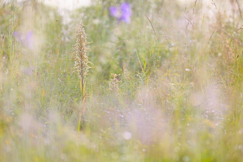 Himantoglossum hircinum, Eidechsen-Orchidee, Detail von Blütenwild wachsenden pflanzen, Jena, Deutschland Natur in Europa Seltene lizenzfreie stockfotos