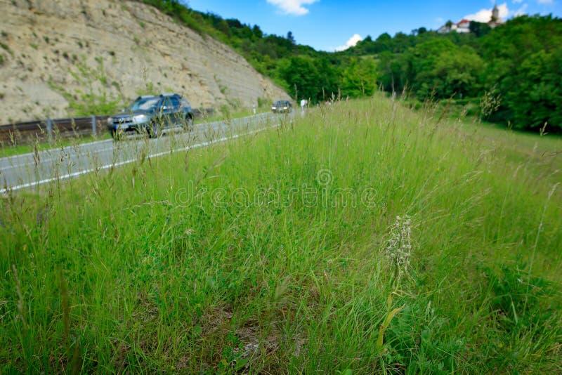 Himantoglossumhircinum, Hagedisorchidee, bloeit wilde installaties dichtbij de weg met auto, Jena, Duitsland Aard in Europa stock afbeelding