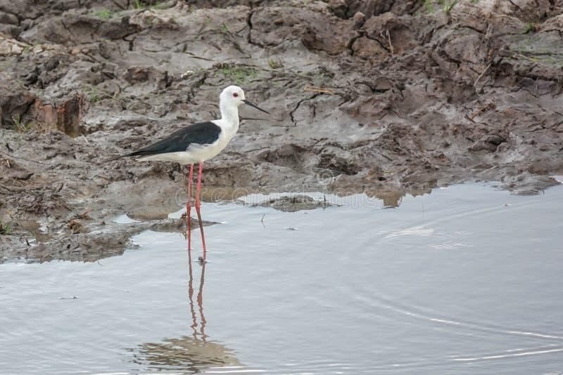 Himantopus del Himantopus dell'uccello del cavaliere d'Italia in natura a Thale Noi Waterfowl Reserve Lake, Tailandia fotografia stock