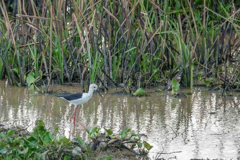 Himantopus del Himantopus dell'uccello del cavaliere d'Italia in natura a Thale Noi Waterfowl Reserve Lake, Tailandia immagine stock libera da diritti