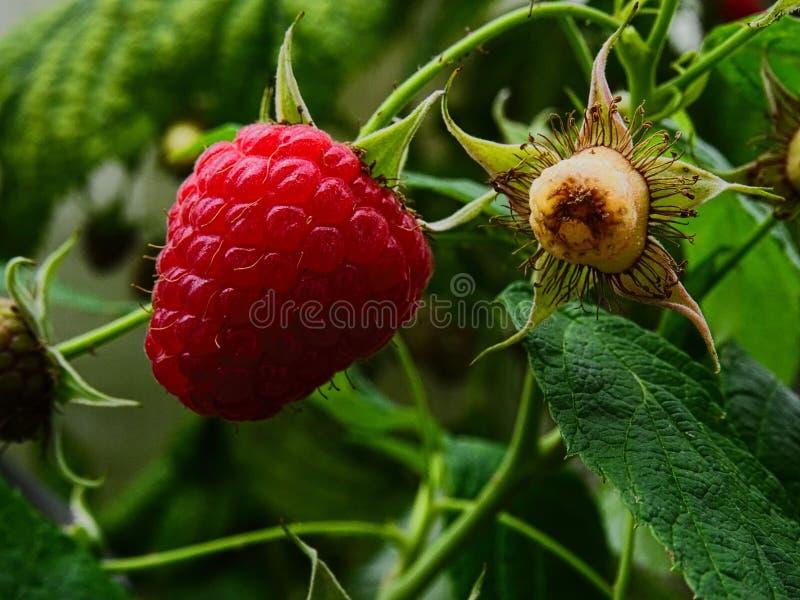 Himbeere - Rubus idaeus lizenzfreies stockbild