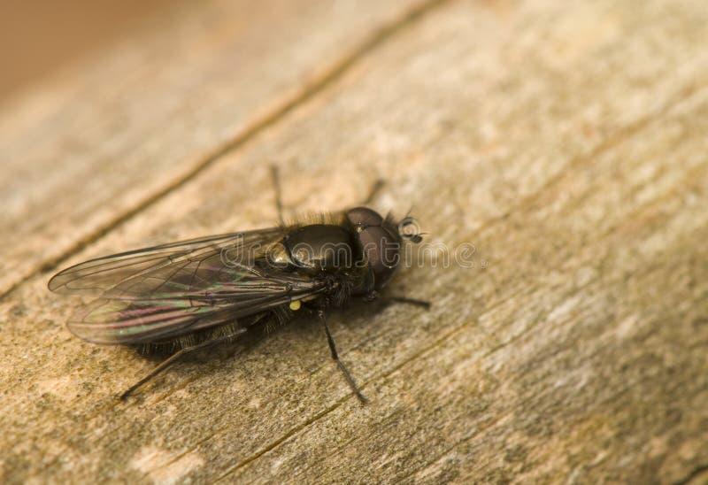 Himenópteros, quadrimaculata de Melangyna imagens de stock