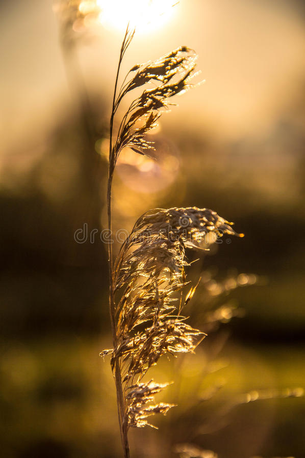 Download Himmel av guld arkivfoto. Bild av solnedgång, guld, korn - 76700492