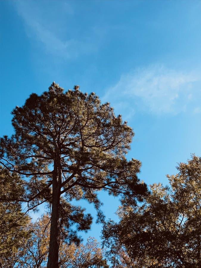 Himmel der Evergreens stockbild