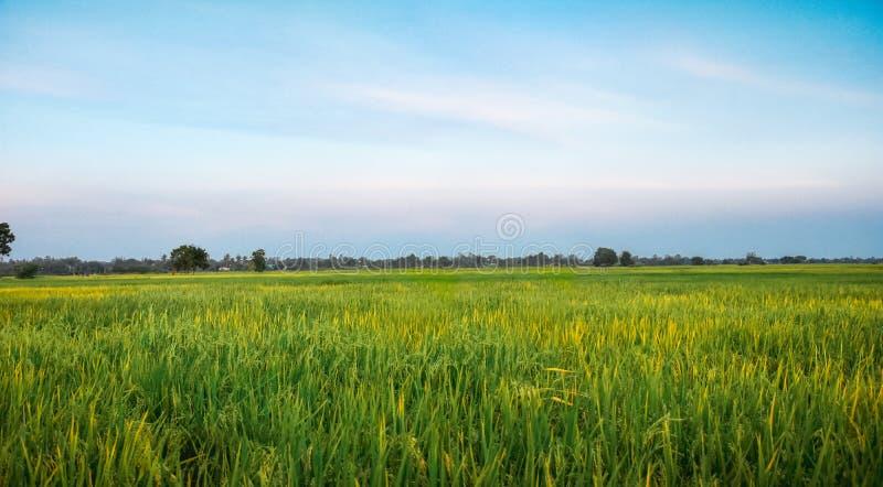 Himmel för grönt gräs för risfält blå i solnedgång , landskapbakgrund, kopieringsutrymme royaltyfri fotografi