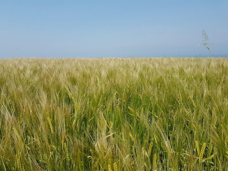 Himmel för landskap för gräsplan för vetewheatfieldfält royaltyfria bilder