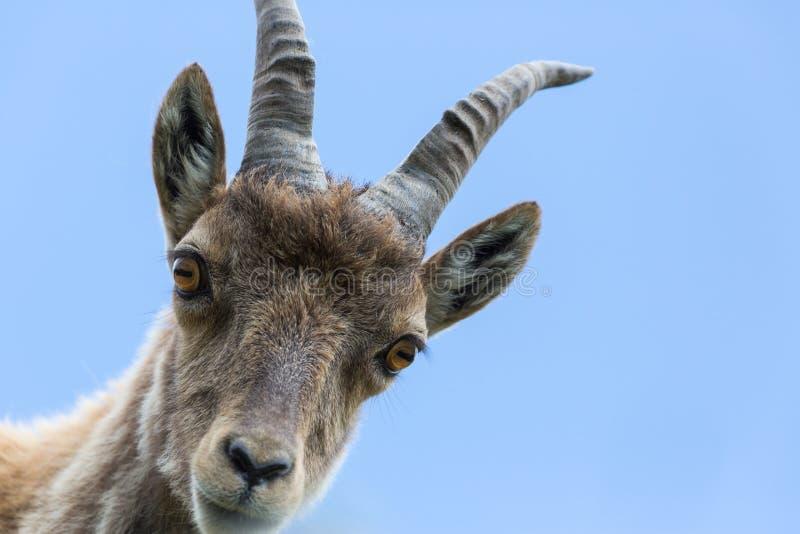 Himmel för ung alpin capricorn för stenbock för stående för främre sikt blå royaltyfri foto