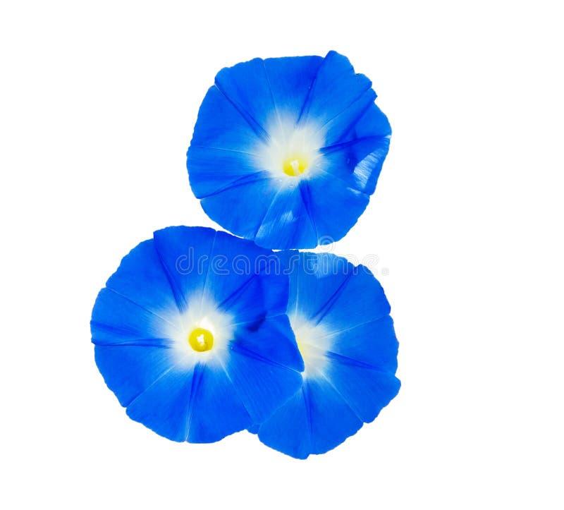 Himmlische blaue Blume der Winde stockbild