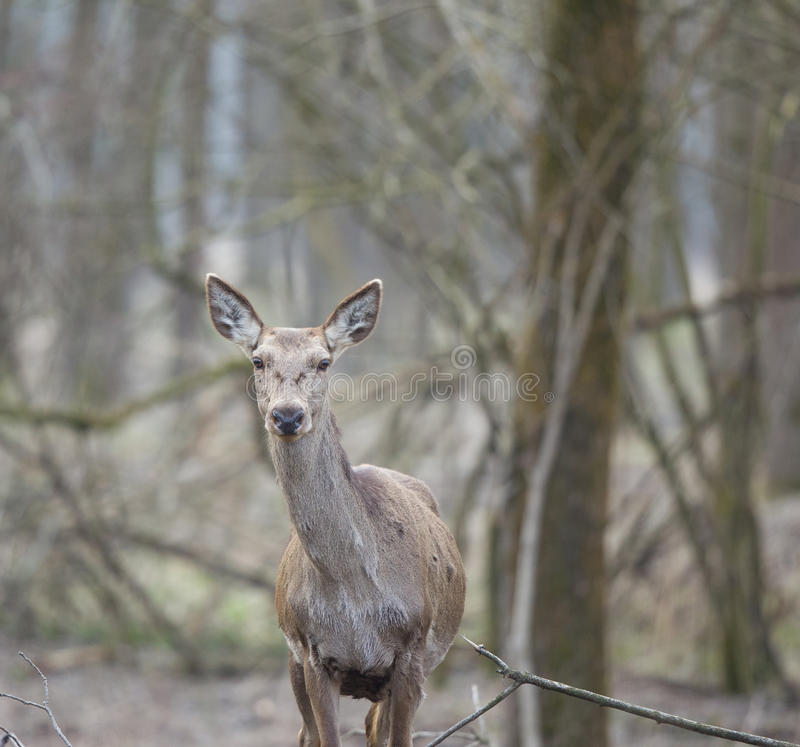 Hind in forest royalty free stock images