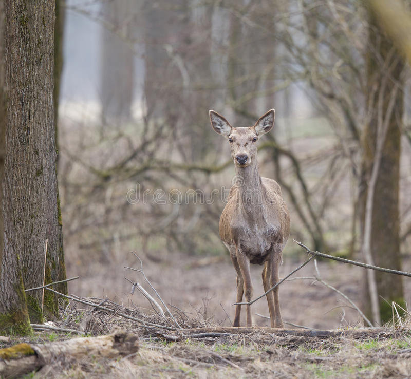 Hind in forest royalty free stock photo