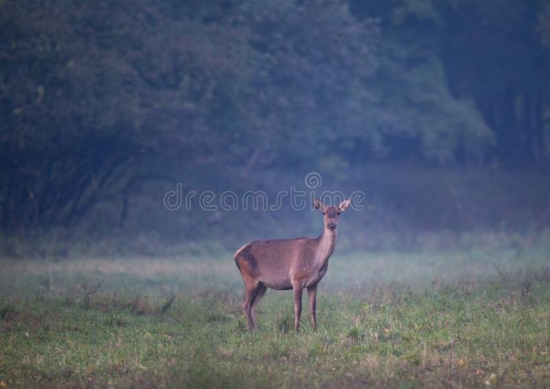 Hind standing in forest. Hind red deer female standing in forest on foggy morning and looking at camera. Wildlife in natural habitat stock image
