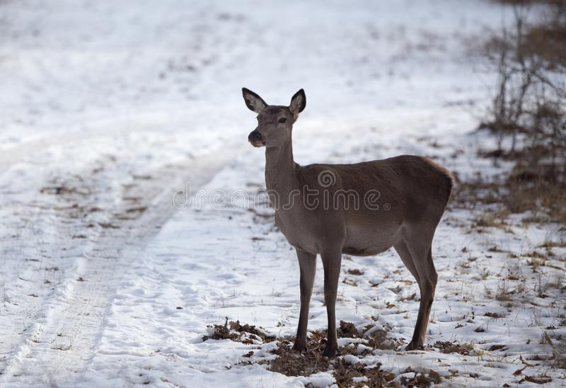 Hind standing on snow in forest royalty free stock images