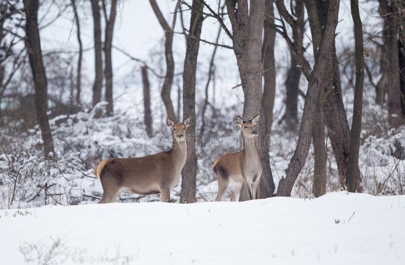 Hind standing on snow royalty free stock images
