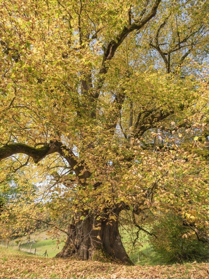 Hindenburglinde, uma das maiores árvores da Alemanha imagem de stock