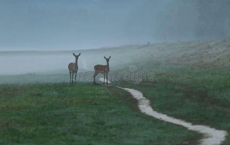 Hinds в тумане стоковые изображения