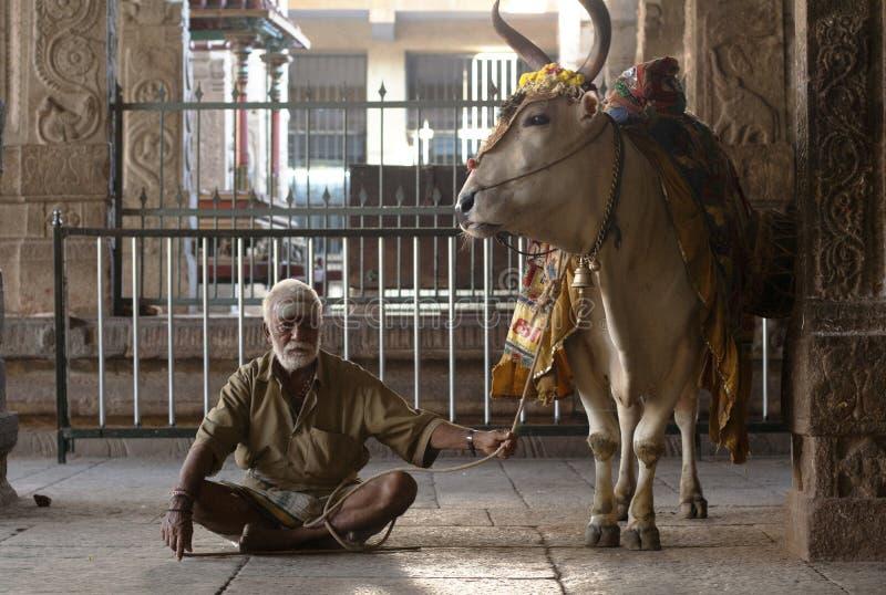 Hinduistischer Mann und heilige Kuh stockfotografie