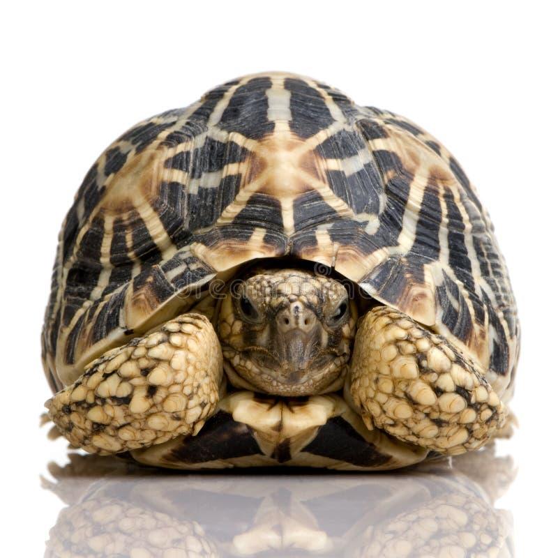 hindusi elegans geochelone star żółwia fotografia royalty free