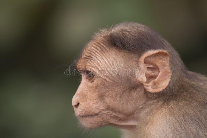 hindusi małpa zdjęcia stock