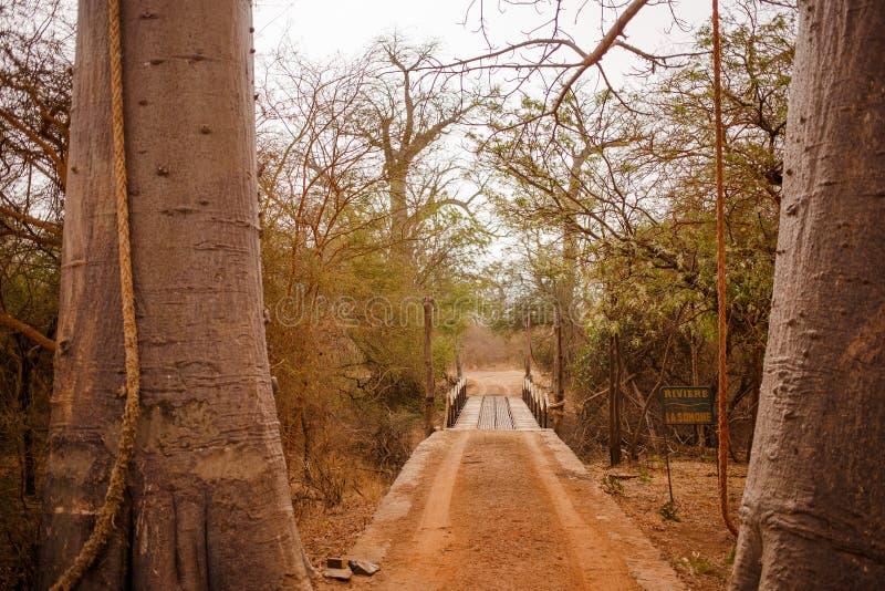 Hinged bridge between 2 trees. Wild life in Safari. Baobab and bush jungles in Senegal, Africa. Bandia Reserve. Hot, dry climate.  royalty free stock images
