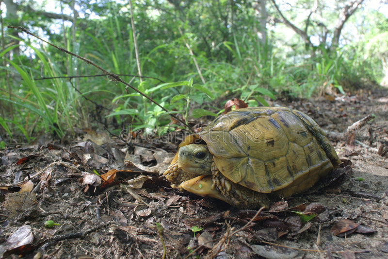Hinged Turtoise stock photos