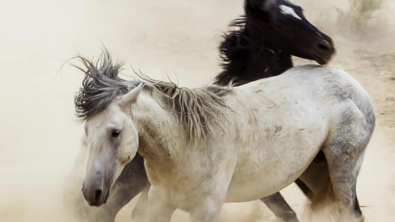 Hingst lösa mustang försöker att dominera tipsen, att slåss av rivaler, som vågar för nära i öknen av Nevada som förenar royaltyfria foton