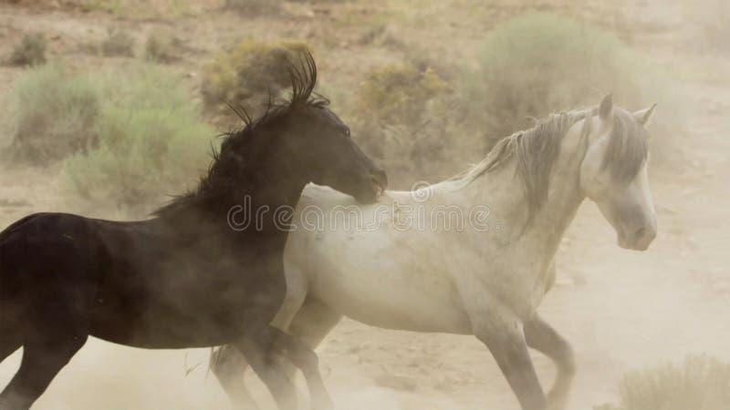 Hingst lösa mustang försöker att dominera tipsen, att slåss av rivaler, som vågar för nära i öknen av Nevada som förenar royaltyfria bilder