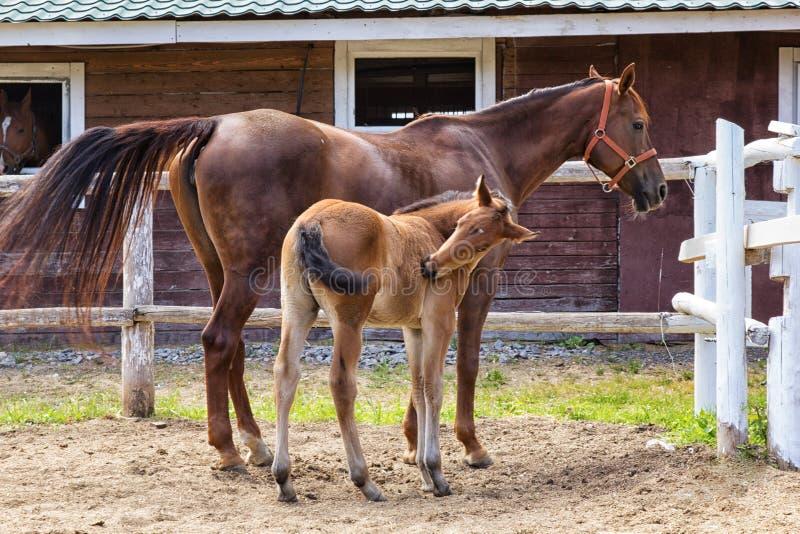 Hingstföl och hans moderhäst i stallen fotografering för bildbyråer