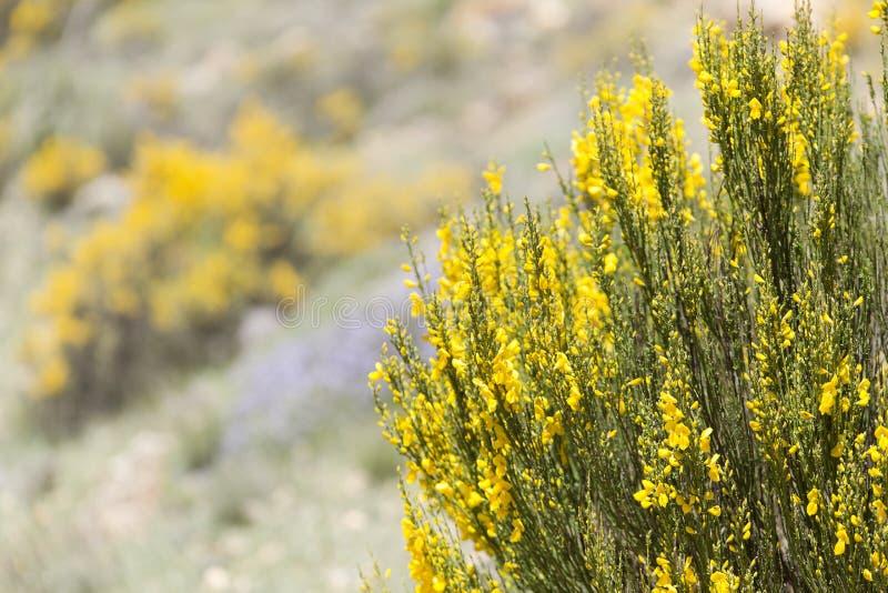 Hiniesta in primavera con i suoi fiori gialli fotografia stock