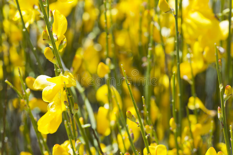 Hiniesta in spring with its yellow flowers. Scientific name is Genista cinerea. Photo taken in the Sierra del Segura, Albacete, Spain royalty free stock images