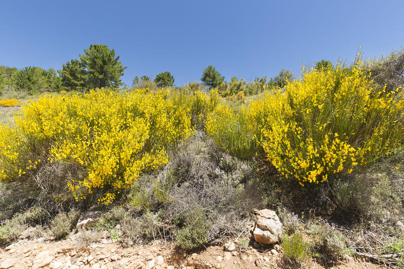 Hiniesta in spring with its yellow flowers. Scientific name is Genista cinerea. Photo taken in the Sierra del Segura, Albacete, Spain stock image