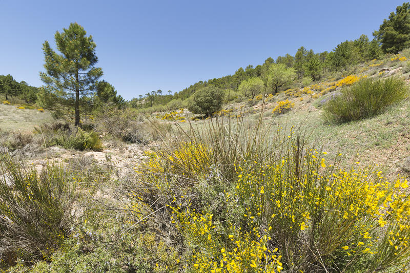Hiniesta in spring with its yellow flowers. Scientific name is Genista cinerea. Photo taken in the Sierra del Segura, Albacete, Spain stock photography
