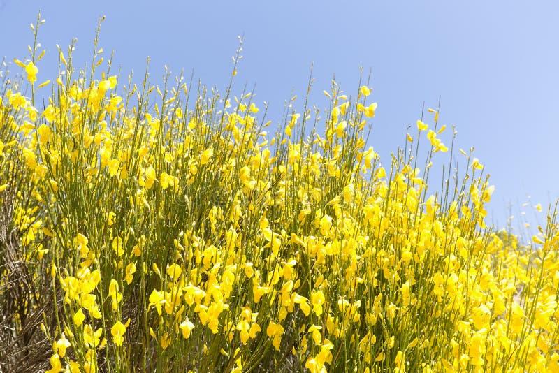 Hiniesta w wiośnie z swój żółtymi kwiatami zdjęcia royalty free