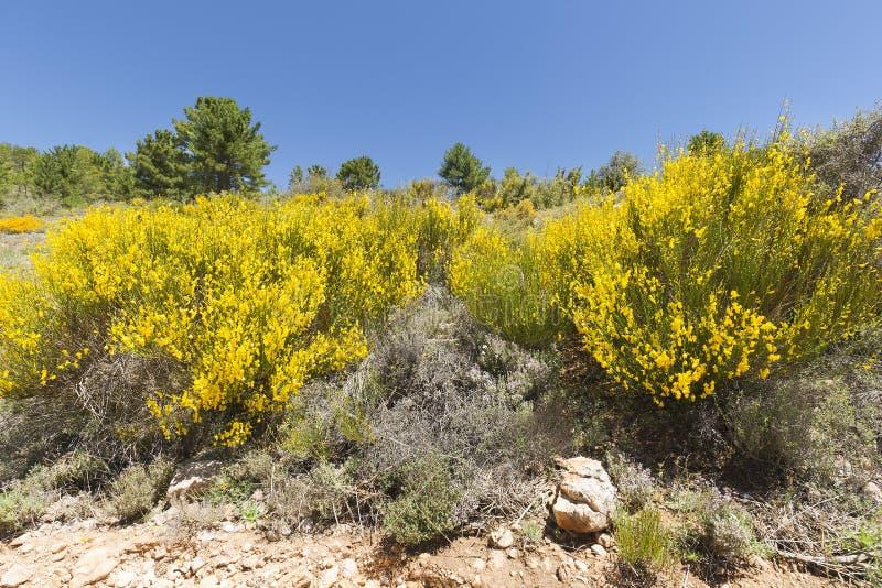 Hiniesta w wiośnie z swój żółtymi kwiatami obraz stock