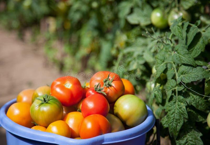 Hink mycket av tomater arkivbild