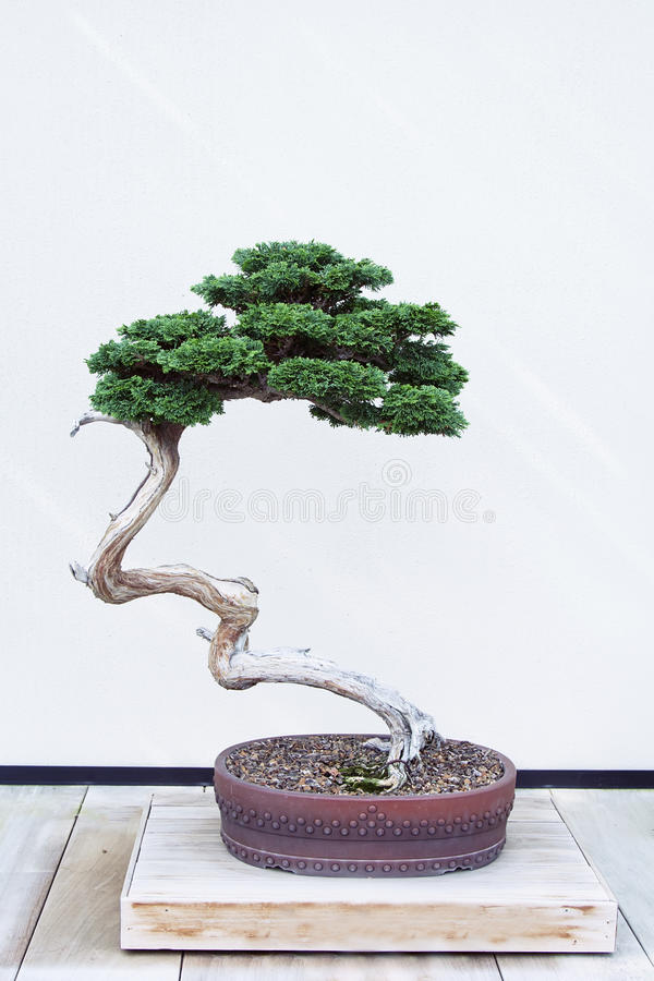 Hinoki bonsai Fałszywy Cyprysowy drzewo fotografia stock