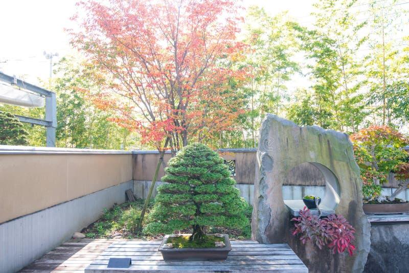 Hinoki cyprysowi bonsai w Omiya bonsai wiosce obraz royalty free