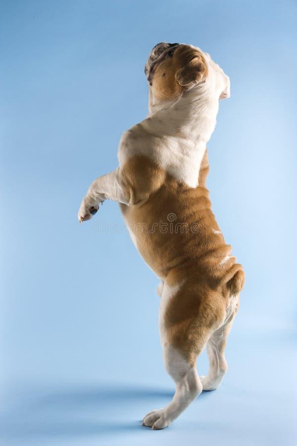 Hintere Ansicht der englischen Bulldogge. stockbilder