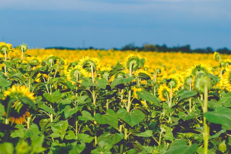 Hintere Ansicht der Sonnenblume, Sonnenblumen schließen unter regnerischen Wolken, sunflo stockbilder