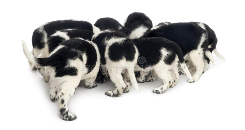 Hintere Ansicht einer Gruppe des Stabyhoun-Welpenessens, lizenzfreie stockfotografie