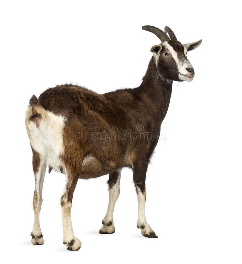 Hintere Ansicht einer Toggenburg-Ziege, die weg gegen weißen Hintergrund schaut stockbild