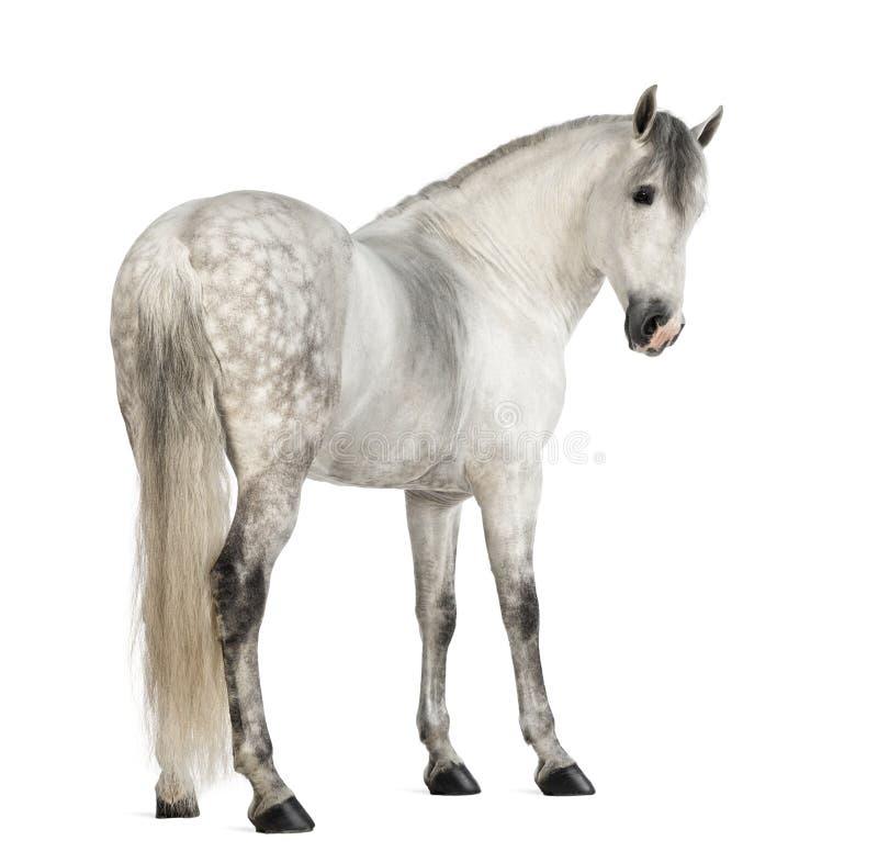 Hintere Ansicht eines männlichen Andalusian, 7 Jahre alt, alias des reinen spanischen Pferds oder VOR, zurück schauend lizenzfreies stockfoto