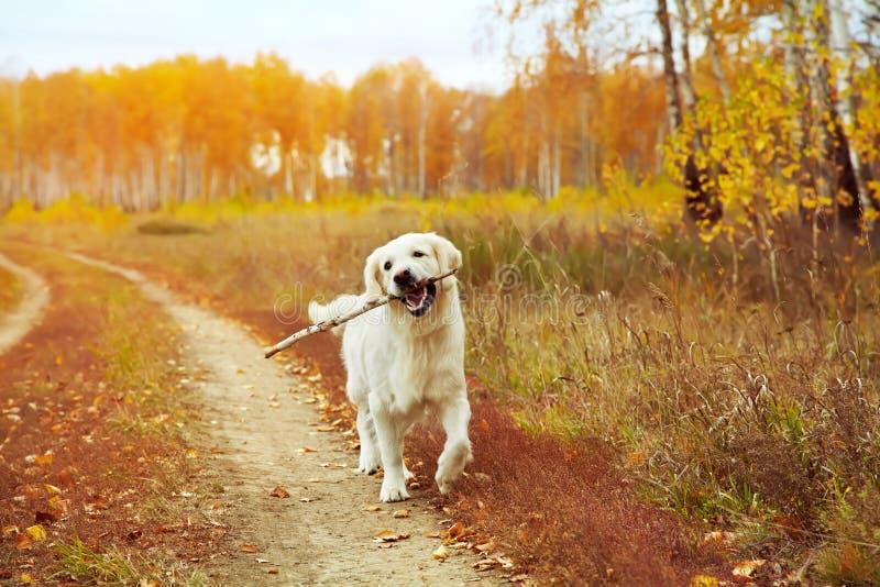 Hintere Ansicht eines Welpenhundes auf einem grauen Hintergrund lizenzfreie stockfotos