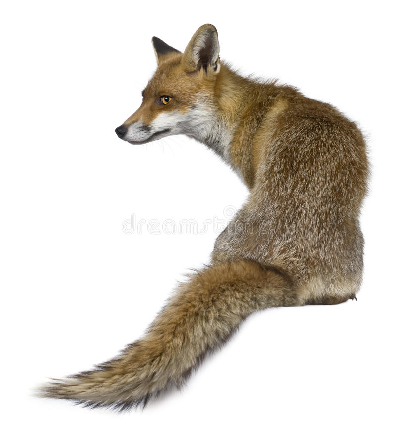 Hintere Ansicht roten Fox, 1 Einjahres, sitzend lizenzfreie stockbilder