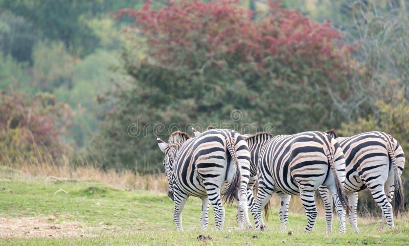 Hintere Ansicht von drei Zebras, fotografiert am Hafen Lympne Safari Park, Ashford, Kent Großbritannien lizenzfreies stockbild