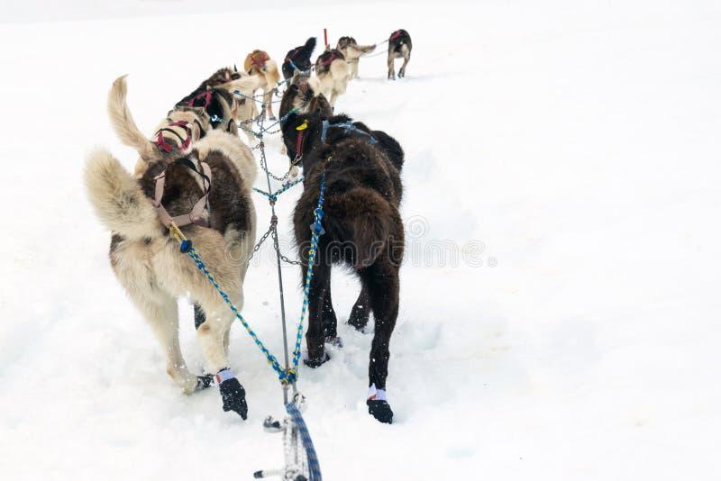 Hintere Ansicht von Schlittenhunden auf einem Breilauf stockfotografie