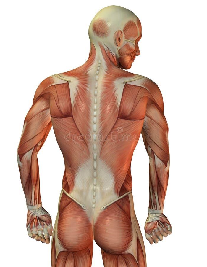 Hintere muskulöse Struktur des Mannes lizenzfreie abbildung