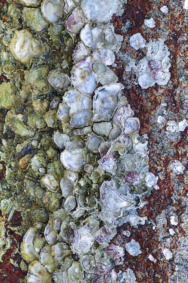 Hintergrund-Basisoberflächenvertikale der Steinwand-Austernoberteil-Meeresflora und -fauna-Ebbe raue verwitterte stockbild