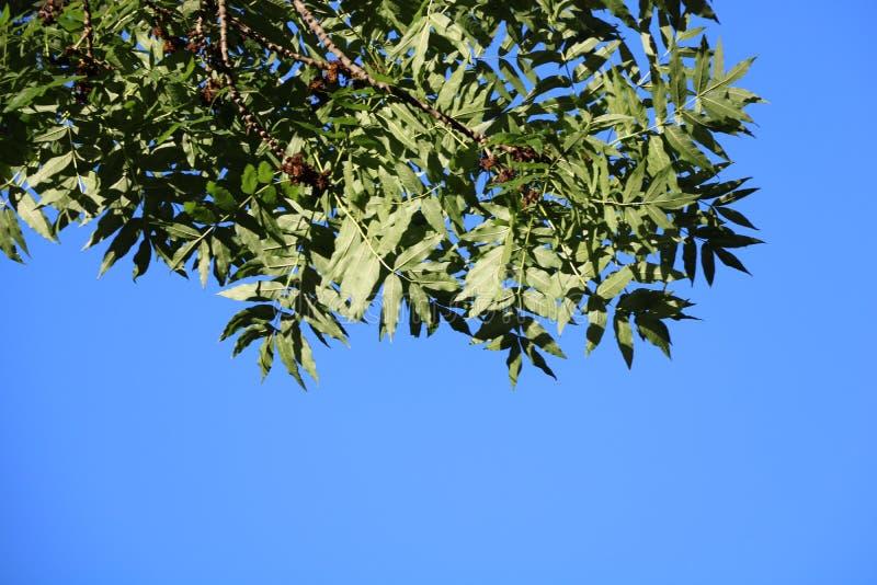 Hintergrund, blauer Himmel mit hellgrünen Blättern stockfoto