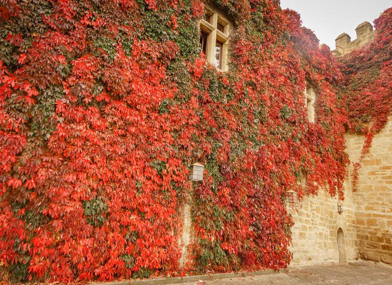 Hintergrund der alten Schlosswand bedeckt mit Efeu stockfoto